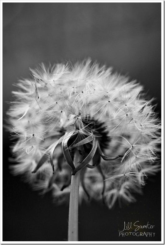 dandelions-3404