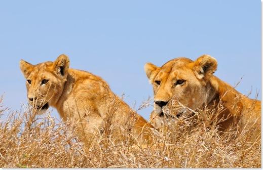 leona-cachorro-serengueti