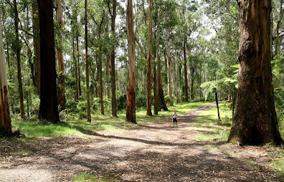 The forests in the Dandenong Ranges outside of Melbourne are pretty impressive