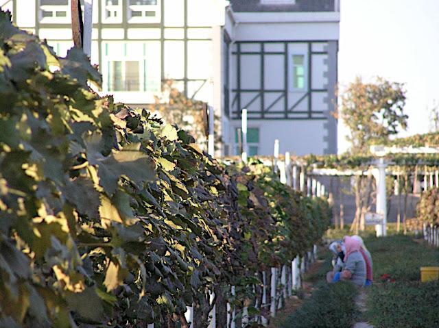 A vineyard in Yantai