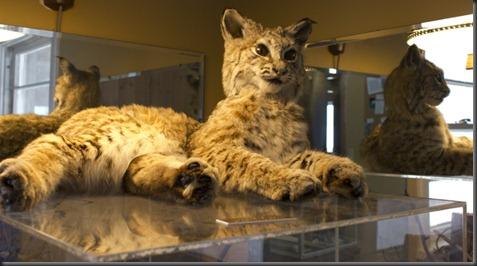 Bobcat Reflect