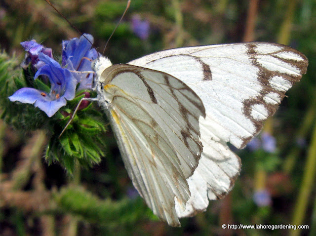 Pioneer white butterfly in lahore