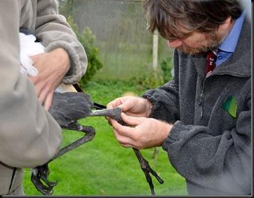 Vet visit (resized) checking female Crowned Crane