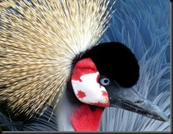 Snell Maureen - (Resized) Male Crowned Crane 2010