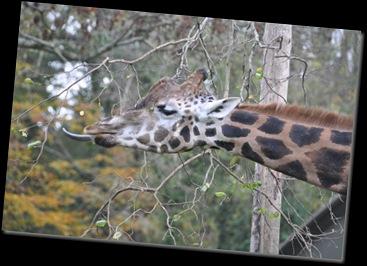 Giraffe (2) at Paignton