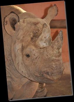 Black Rhino - Paignton