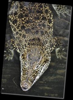 Crocodile at Paignton
