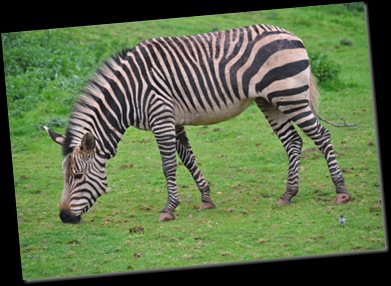 Hartmanns Zebra at Paignton