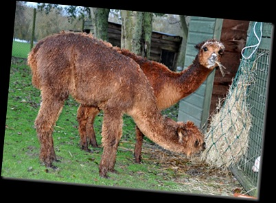 Wet Alpacas (resized) Nov 2010