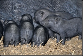 Piglets at 3 weeks
