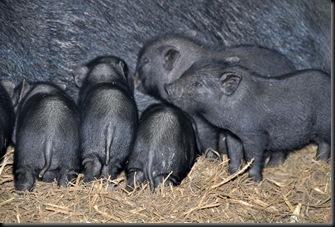 Piglets at 3 weeks