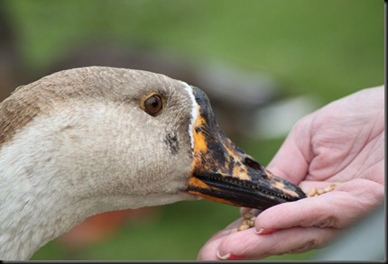 Williams Victoria (under 16) - Goose feeding (resized) from hand 2010