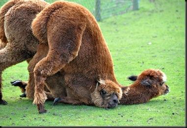 Alpacas romping on ground DSC_1263