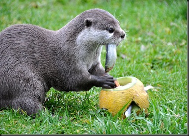 Otter feeding from melon