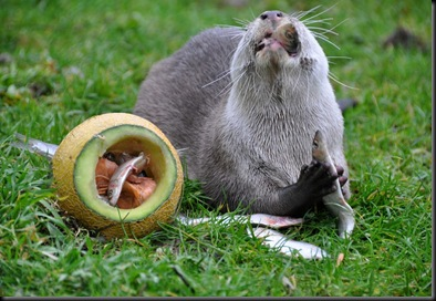 Otter eating fish from melon