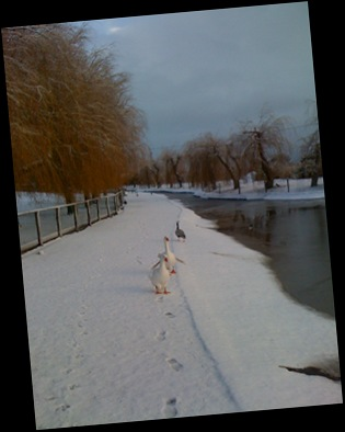 Geese at Lower Lake in snow