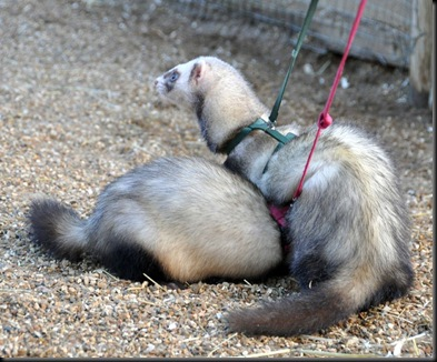 Ferrets going for a walk Jan 11