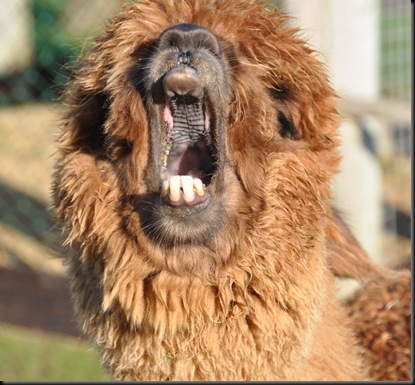 Garnet yawning Feb 2011