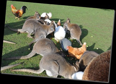 Wallabies et al feeding Feb 11