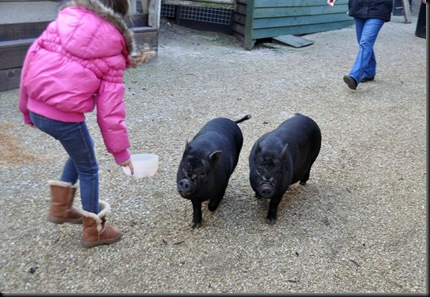 Ella coaxing the pigs along