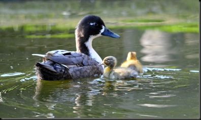 First Spring ducklings of 2011