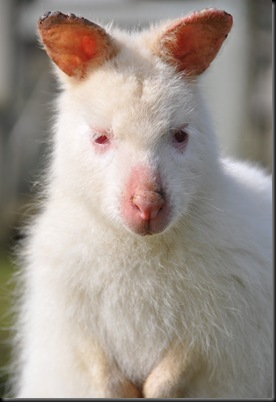 Albino Joey with sunburn