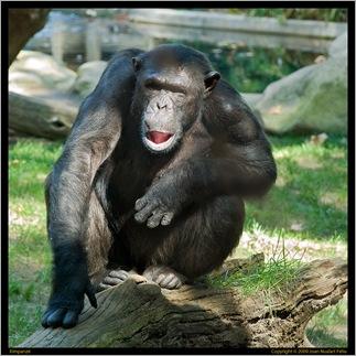 Ximpanzé