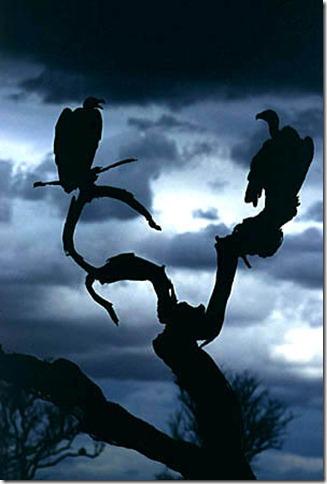 immese_avvoltoi