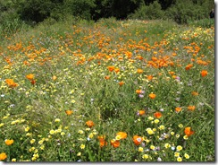 wildflowers_descanso_gardens