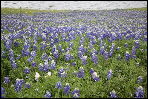 Bluebonnets, wortham lake 011