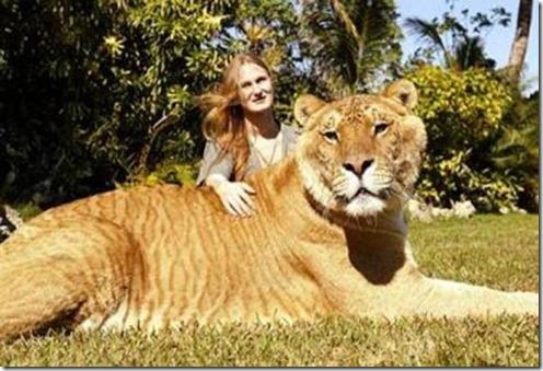 liger01