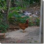 galinha140