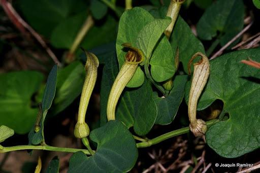 Aristolochia paucinervis Aristolochia+paucinervis+-+C%C3%A1rtama+(2)
