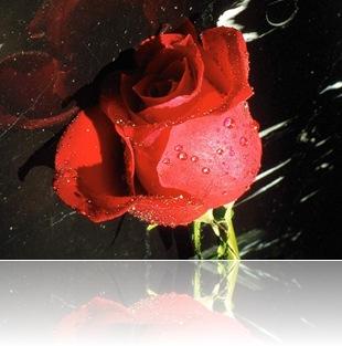 rosa_11