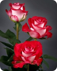 rosas_m_040