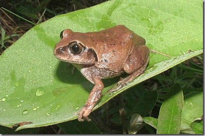 Photo11_rare frog_Leptopelis_anchietae