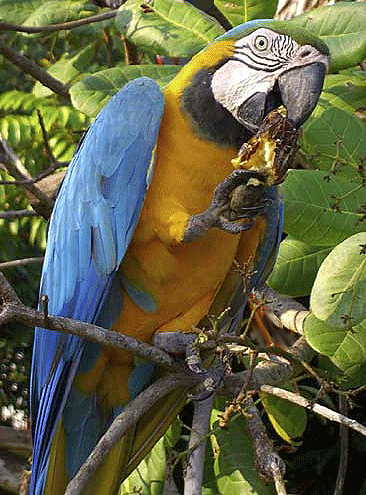 Parrot-eating.png