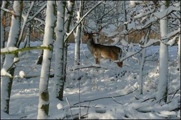 hert in sneeuw