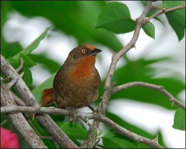 Red-eyed_Thornbird