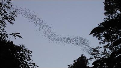 Zwerm Vleermuizen gaan op jacht