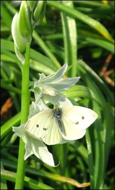 witte vlinder1