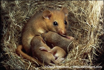 Common-dormouse