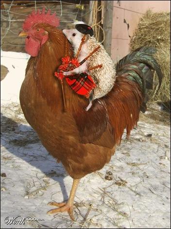 kip en egel