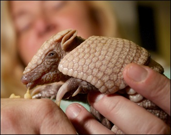 a 4-week-old southern three banded armadillo