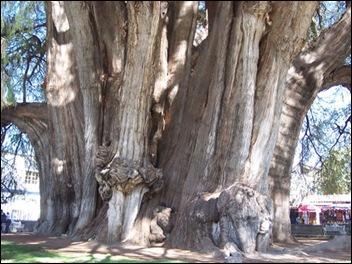 Arbol Del Tule Tree