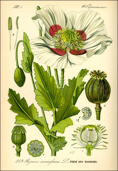 Papaver_somniferum