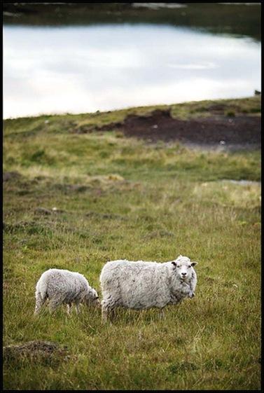 Shetland Schapen