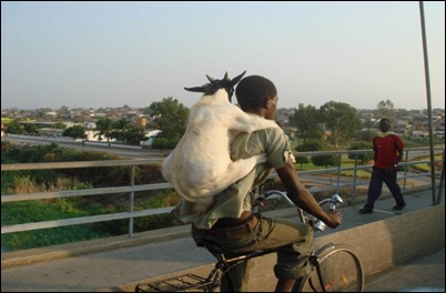 cycling goat