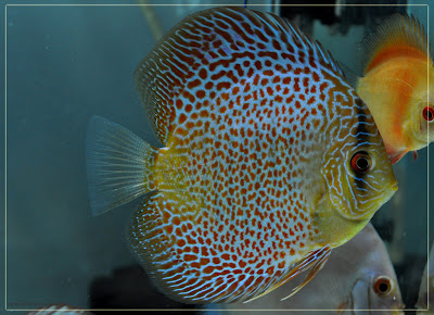Discus fish sex