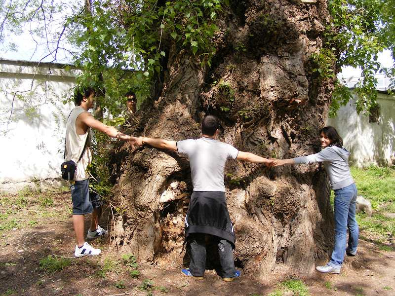 Un copac foarte gros, a fost nevoie de 5 oameni ca sa il inconjuram.JPG